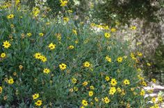 Encelia californica, Coast Sunflower, California brittlebush and Bush Sunflower grows along the coast. In Santa Barbara, Los Angeles, Pasadena, etc. it is an colorful, drought tolerant plant.
