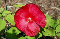 """Does Your August Yard Serve Up Dinner-Plate Hibiscus?: Isn't this red """"dinner-plate"""" hibiscus breathtaking?"""