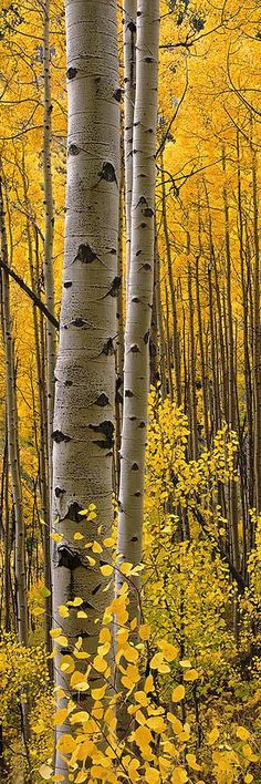 aspen forest ... white, yellow, and black