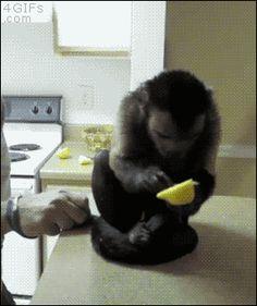 Monkey tries lemon. [video]