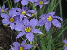 Sisyrinchium angustifolium   'Lucerne' Blue Eyed Grass Sisyrinchium angustifolium 'Lucerne' has blue flowers with yellow eyes and blooms most of the summer. This Blue Eyed Grass tolerates dry and salty sites very well and the FLOWERS ONLY OPEN ON SUNNY DAYS.   Height 8 Inches   Spread 10 Inches   Bloom Color: Blue   USDA Hardiness Zone: 5   Exposure: Sun   PERENNIAL