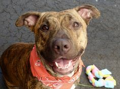 JOONMARIE - A1045894 - - Manhattan TO BE DESTROYED 08/09/15 A volunteer writes: I love that triangular face, gentle, naive, tilted to perfection, her hopeful eyes and her sweet smile..Joonmarie is a pretty damsel, a tigerlilly, dressed in a beautiful striped orangy coat that would put to shame a Tiger of Bengal. She is putting a real show in her den to get my attention and does not get discouraged when I take out one of her kennel's mates instead of her. She is persi