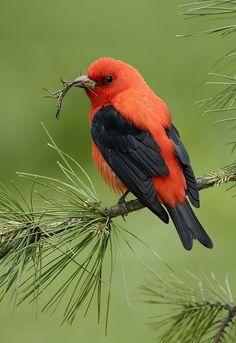 Tánager - Tángara rojinegra migratoria (Piranga olivácea). en invierno vive en Canadá y EEUU, y en verano emigra a Colombia, Perú, Venezuela y oeste de Brasil.