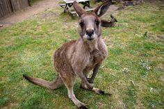 Nasz nowy kolega - kangur :)