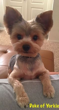 Yorkshire Terrier Facts The many things we admire about the Affectionate Yorkie Puppies Amor Animal, Mundo Animal, Cute Puppies, Cute Dogs, Yorkie Haircuts, Top Dog Breeds, Yorky, Yorkshire Terrier Puppies, Terrier Dogs