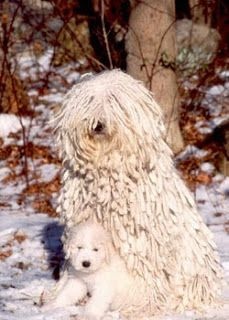 """I'm sorry, we have not seen Reggae Reggie. But if we do, we'll send him home,"" replied a sweet Komondor mom."