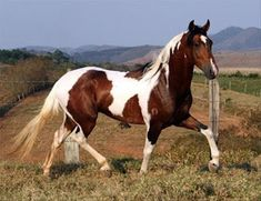 One of my many Dreams ! Horses And Dogs, Wild Horses, Animals And Pets, All The Pretty Horses, Beautiful Horses, Animals Beautiful, American Paint Horse, Caballo Tobiano, Horse Pictures