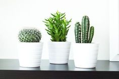 Cacti: 7 Indoor Plants to Brighten and Purify Your Home or Office