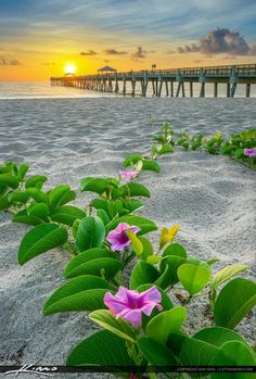 Purple flowers at the beach along the Juno Beach Pier during sunrise over Palm Beach County, Florida. Beach Flowers, Purple Flowers, Beautiful World, Beautiful Images, Juno Beach Pier, Palm Beach, Landscape Photography, Nature Photography, Flower Landscape