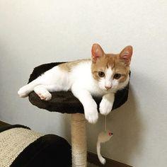 🐱 staying at home🐱 お母さ〜ん ぼく お利口さんに お留守番 してたよぉ〜 だから、ちゅーるちょ〜だ〜い😹 ♪ よしよし よく3時間1人でいたね😊 お利口さんにはちゅーる、じゃなく、チュー💋かな😅😘 ♪ ♪ ♪ #japan #tokyo #猫 #ねこ #kitty #cat #mykitty #chata #茶太 #ちゃた #♂#茶トラ白#3monthold #rescuecat #protection #保護猫 #愛猫 #meow #cute #lovely #catlovers #myphoto #picneko  #cats_of_instagram #catstagram #instacat #instagood #instagram #kaori_3231 #2017_10_02