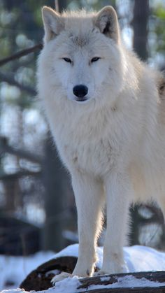 Find the best Wolf Wallpaper for iPhone on GetWallpapers. We have background pictures for you! Iphone 5 Wallpaper, Wolf Wallpaper, Mobile Wallpaper, Wolf Canvas, Background Pictures, Apple Iphone 5, Husky, Dogs, Wolves