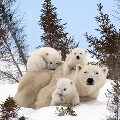 PIC FROM THOMAS KOKTA / CATERS NEWS (Pictured: POLAR BEAR WITH TRIPLETS) - A lucky photographer has managed to photograph these adorable ima...