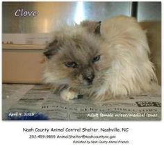URGENT Clove is at a high kill shelter.  Seeking Owner Only is an adoptable Ragdoll Cat in Nashville, NC. ~ URGENT ~ This pet is at what is considered a high kill Shelter.  The Shelter is extremely small and the and the pets have very little time.  Please adopt or rescue this pet and save its life.  Thank you for caring!