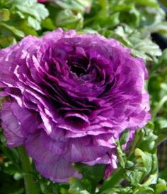 Ranunculus  Persian Buttercup  Scientific Name Ranunculus  Plant Type Perennial  Blooming Spring to Early Summer
