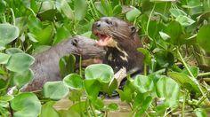 Adventures in Brazil: Giant River Otters Pantanal Giant River Otter, Pumas, Leopards, Otters, Dolphins, Brazil, Adventure, Film, Animals