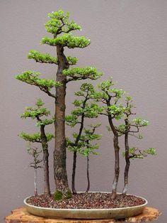 Siberian Elm (Ulmus Pumila) Bonsai Forest