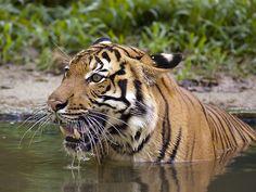 swimming Tiger | Christ Melikian | Flickr