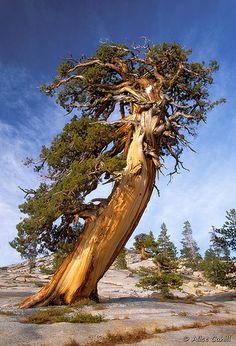 Sierra Juniper--Juniperus occidentalis var. australis--long-lived under harsh conditions.