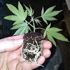 How to clone cannabis with rapid rooter roots