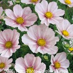 Versailles Flush Cosmos - Annual Flower Seeds. -Tall, 36-40 inch plants produce a wealth of 4 inch flowers on long, strong stems. 'Versailles' cosmos make superb cut flowers. 100 seeds for 2.49