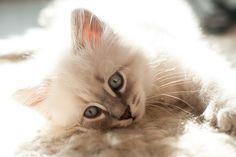 Ima, kitten neva blue silver tabby