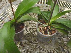 Comme pour toutes les plantes d'intérieur en pot, le rempotage des orchidées est un opération nécessaire au bon développement du système racinaire ! Généralement, une orchidée se rempote tous les 2 ou 3 ans. Il est important d'utiliser un substrat de qualité parfaitement adapté à la culture des orchidées, que l'on retrouve sous l'appellation «Substrat ... Permaculture, Horticulture, Flowers, Planters, Garden, Orchids, Houseplants, Succulents, Plants