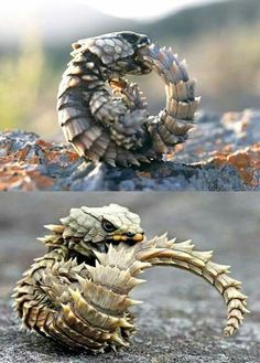 So cute! Baby dragon! ;) Golden armadillo lizard or armadillo spiny-tailed lizard, is a girdled lizard endemic to desert areas along the western coast of South Africa. Wild populations are considered threatened.