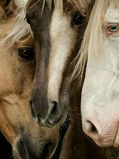 Trio of beautiful horses in neutral colors. Horse Photos, Horse Pictures, Animal Pictures, All The Pretty Horses, Beautiful Horses, Animals Beautiful, Zebras, Animal Original, Animals And Pets