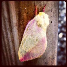 Lunar moth had babies!!