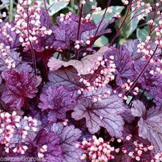 heuchera SHANGHAI purple non-stop flowers City coral bells ✿Live Potted Plant✿  $20