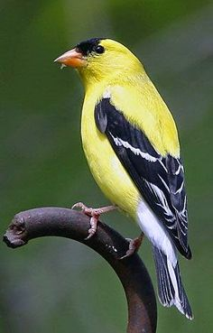 """American Goldfinch. (""""Aves e animais: pássaros bonitos."""")"""