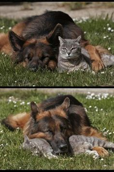 The Animals friendship. Animals And Pets, Baby Animals, Funny Animals, Cute Animals, Funny Cats, Animals Images, Tier Fotos, German Shepherd Dogs, German Shepherds