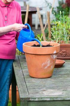Water a Hydrangea Cutting
