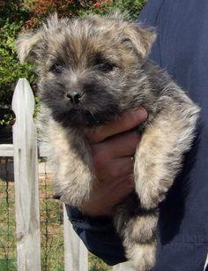 Trudy ......... 6 weeks old. Cairn Terrier