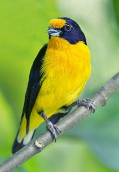 Violaceous Euphonia  (Euphonia violacea). A true finch, this species is a resident of Trinidad, Tobago, and parts of northwestern South America. photo: Doug Janson.