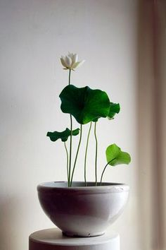 un lotus avec une fleur blanche et tendre dans une jardinière en céramique