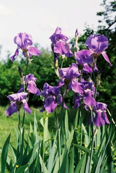 Bearded irises - irysy bródkowe Bearded Iris, Irises, Gardening, Plants, Blog, Garten, Iris, Lawn And Garden, Planters