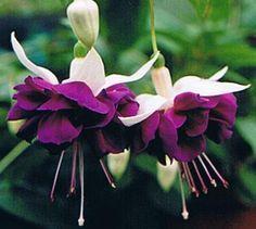 Purple fuchsia flowers