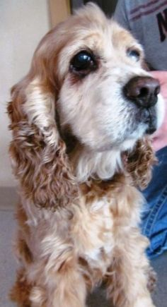 Hello. I'm Charlotte. Nice to meet you! I am a 10-year-old spayed female Cocker Spaniel. Life has not been kind to me, but that didn't stop me from starting over! I am sweet and friendly. I am good with other animals and housetrained. I like to go on walks and even have some stuffed animal friends. Mostly, I love to be loved.     Please email Mtocker@berksarl.org to meet me