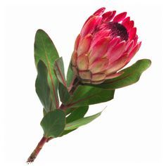 Protea, King stands for change and transformation. It signifies daring and resourcefulness. It is symbolic of diversity and courage.