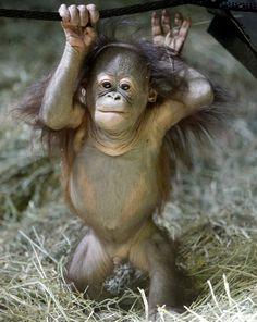 Tuah, een orang-oetang van vijf maanden in de zoo van Utah doet ons hart smelten.