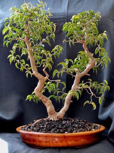 "When I started bonsai I bought three Ficus benjamina ""Wiandi "" trees because they look bonsai""ish"", a Mallsai without any training becaus. Garden Terrarium, Bonsai Garden, Succulent Terrarium, Planting Succulents, Cacti Garden, Succulent Wall, Ficus Bonsai, Bonsai Soil, Bonsai Plants"