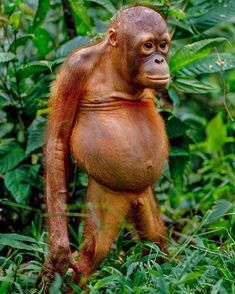 Orangutans have declined by in Borneo due to deforestation for logging and Palm Oil 🌴 It's time to make a stand to save the… Wildlife Nature, Nature Animals, Animals And Pets, Cute Animals, Animals Photos, Wild Animals, Funny Weather, Weather Memes, Safari