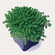 Sedum grisebachii.  A relatively uncommon variety, this sedum has fine foliage and forms a low mat. It erupts in a mass of yellow blooms in the summer.        Name: Sedum grisebachii