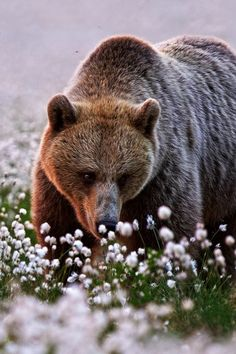 Bear among the cotton flowers | by Orpelli Massimiliano.