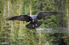 Stock-Foto : Adult Raven (Corvus corax) in flight with wings outstretched in a Boreal Forest, Alberta, Canada.