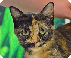 Searcy, AR - Domestic Shorthair. Meet Chante, a cat for adoption. http://www.adoptapet.com/pet/11420557-searcy-arkansas-cat