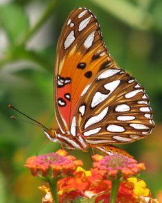 Gulf fritillary butterfly | by Vicki DeLoach