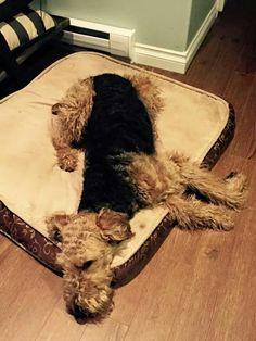 Airedale Sleep Position # 80