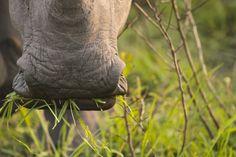 Labios aplanados caracterizan al rinoceronte blanco.